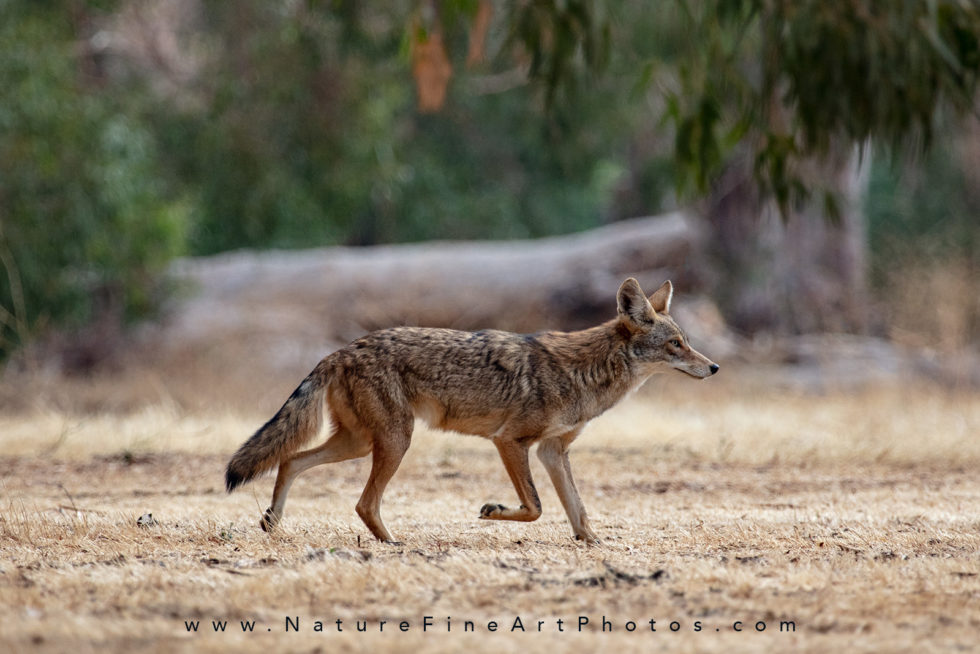 coyote running on grass
