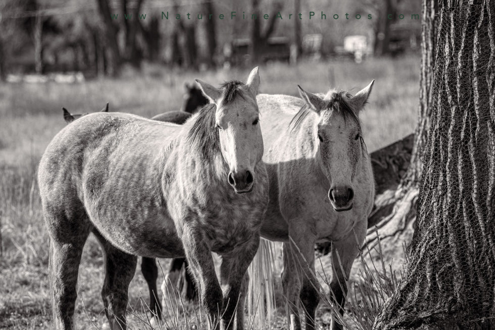 two grey horses standing together