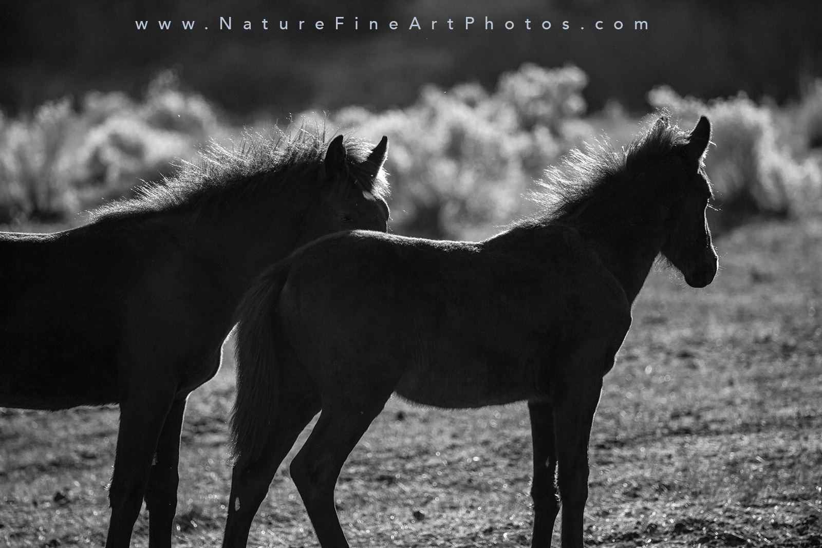 silhoutte photograph of baby wild horses