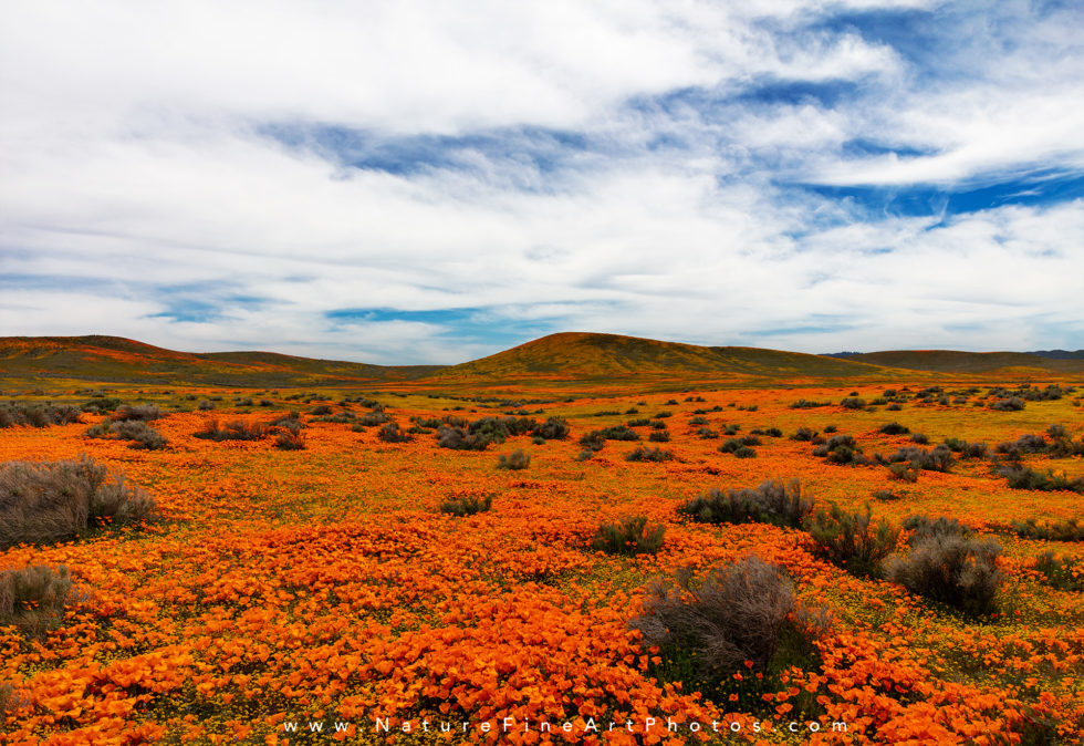 photo of california poppies